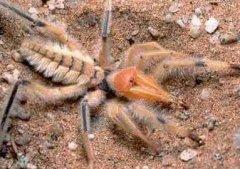 世界最大的五种蜘蛛,世界最大蜘蛛排行(图)