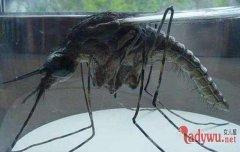 华丽巨蚊:世界上最大的蚊子吃人(图)