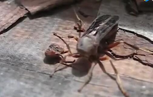 神奇!黄蜂被割掉脑袋 一番摸索后找回来抱着飞走(现场)
