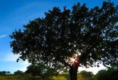 树木像是水做的 93至98%由水组成
