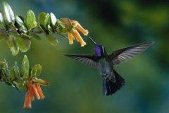 蜂鸟可以向后飞行 为什么蜂鸟飞行能够如此敏捷(图)