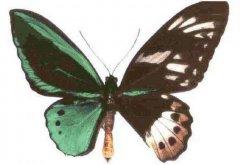 卡申夫鬼美人凤蝶传说 鬼美人凤蝶的诅咒是什么