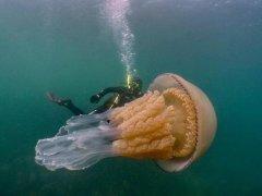 潜水员发现巨型桶水母 和人一样大(图片)
