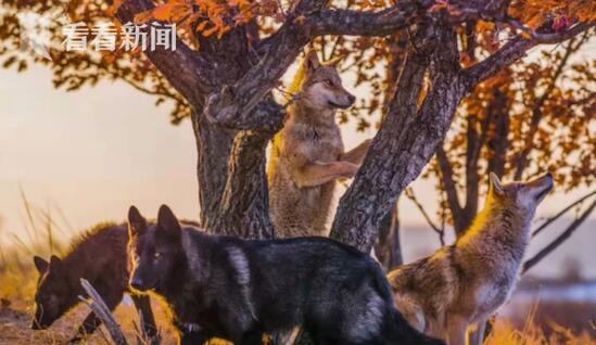 藏獒混入狼群1年成狼王 混入狼群当头狼的狗狗(图)
