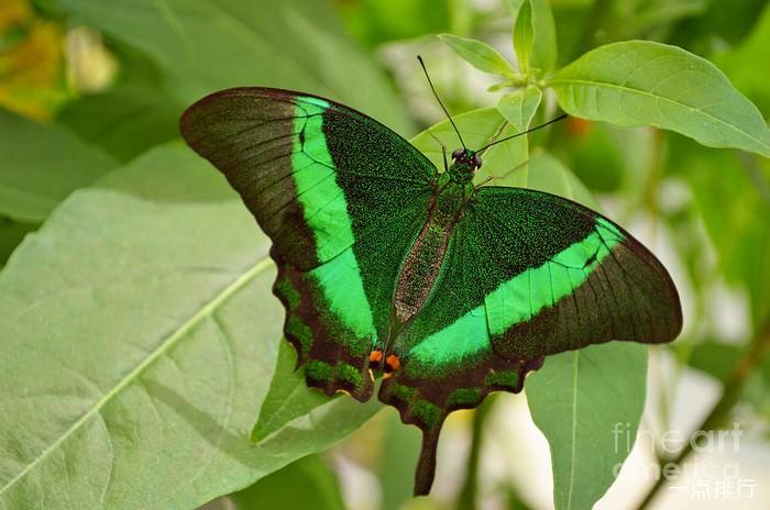 翡翠燕尾蝶