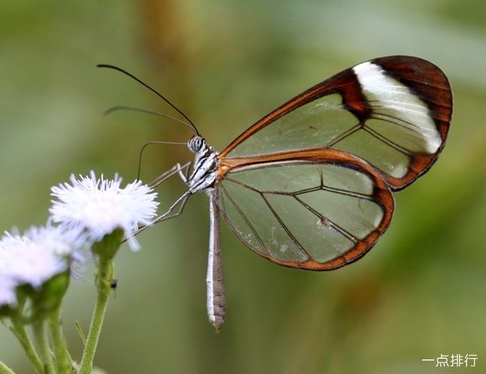 玻璃翼蝴蝶