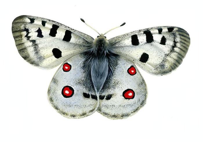 阿波罗蝴蝶
