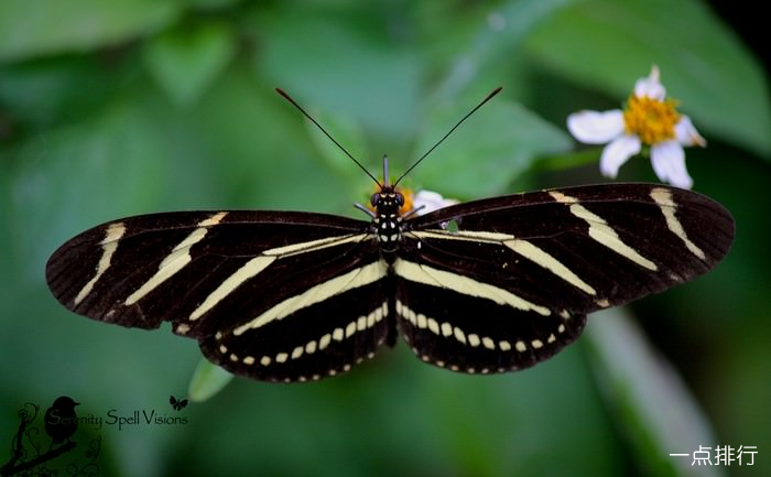 斑马长翅膀蝴蝶