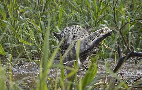 美洲豹从树上跳下捕获鳄鱼 巴西摄影师拍下全过程
