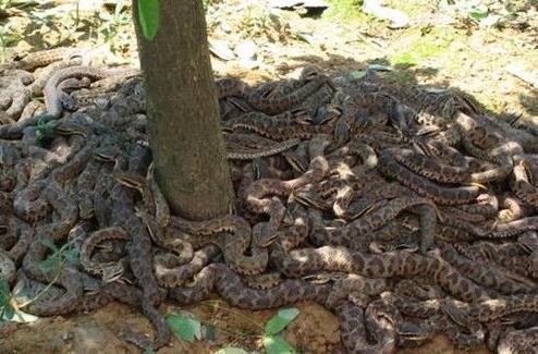 千岛湖蛇岛为什么关闭:千岛湖蛇岛简介及相关问题解答