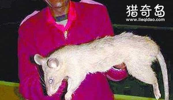 前苏联大老鼠吃了5个人,核辐射变异的食人巨鼠