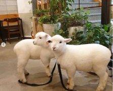 韩国首尔名叫Thanks Nature Cafe的咖啡馆,全是白胖软萌小肥羊