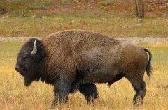 美洲大型哺乳动物:美洲野牛是北美洲体型最大的哺乳动物