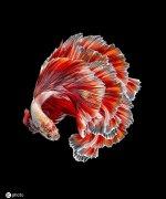 暹罗斗鱼美丽特写图片:天生的颜料盘 水中的彩墨云