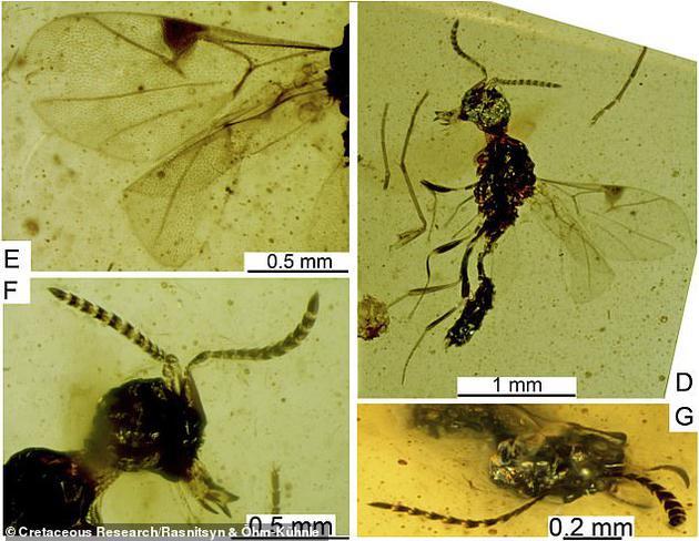 这个黄蜂化石具有一系列独特复杂结构,其中包括:嘴部两侧的瓣状结构(左下图),以及其它黄蜂家族成员的触角数量较少(右下图)。