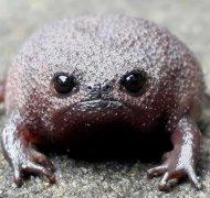 青蛙界丑萌《沙漠雨蛙》天生傲娇脸(丑萌青蛙图片)