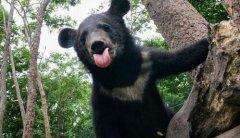 中俄边境两只熊打架 导致铁丝和围栏杆损毁