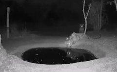 豹子正在喝水突然感到有东西接近自己 立马吓得跳起2米高