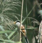 河北武强发现震旦鸦雀 震旦鸦雀属于几级保护动物