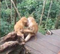 两猴子接吻被发现后害羞打闹
