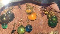 墨西哥蜜罐蚁:墨西哥戈壁上惊现大肚虫,七彩宝珠各个饱满圆润